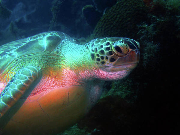 Photograph - Green Sea Turtle 1 by Pauline Walsh Jacobson