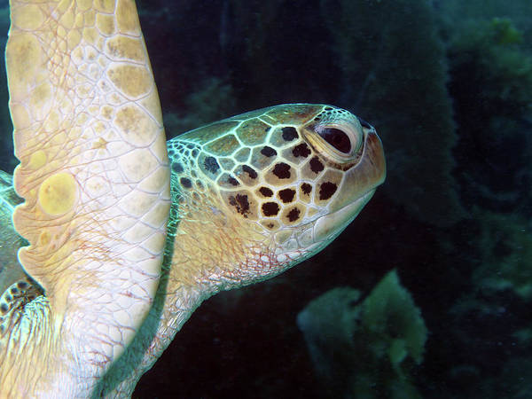 Photograph - Green Sea Turtle 2 by Pauline Walsh Jacobson