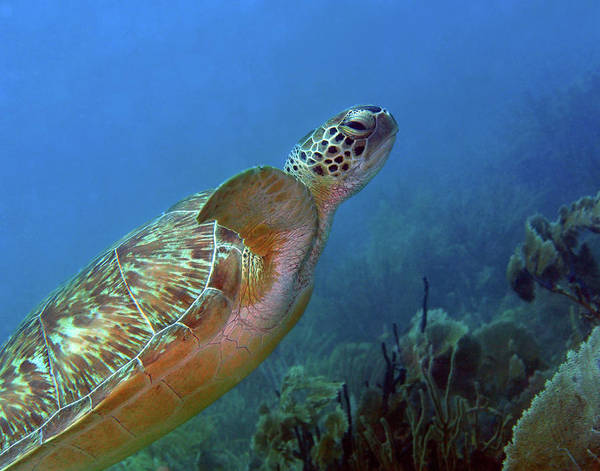 Photograph - Green Sea Turtle 4 by Pauline Walsh Jacobson