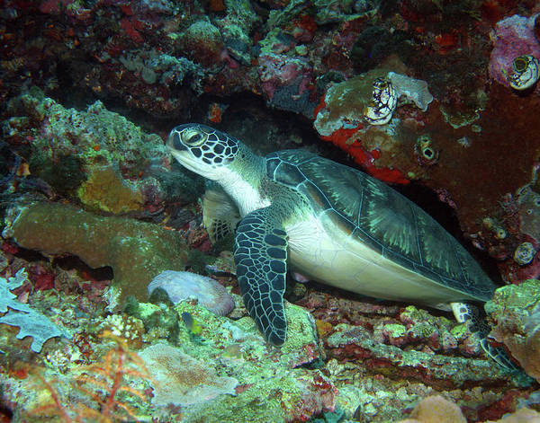 Photograph - Green Sea Turtle 5 by Pauline Walsh Jacobson