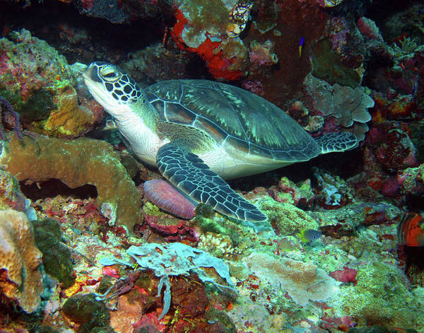 Photograph - Green Sea Turtle 6 by Pauline Walsh Jacobson