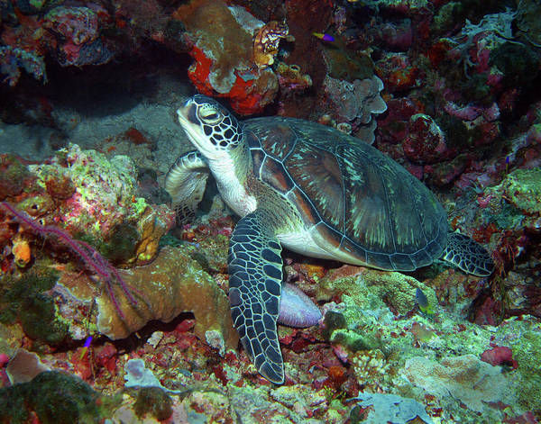 Photograph - Green Sea Turtle 7 by Pauline Walsh Jacobson