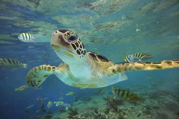 Front Wall Art - Photograph - Green Sea Turtle Chelonia Mydas by Tim Fitzharris