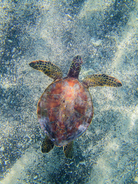 Turtle Photograph - Green Sea Turtle From Above by Christopher Johnson