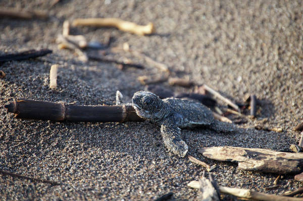 Photograph - Green Sea Turtle Hatchling by Breck Bartholomew