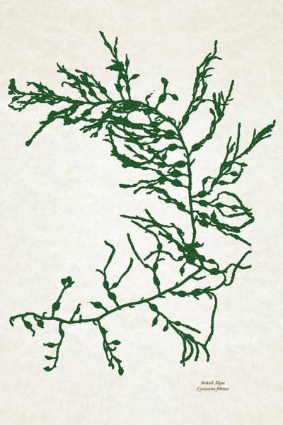 Mixed Media - Green Seaweed Art Cystoseira Fibrosa by Christina Rollo