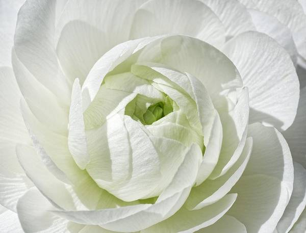 Photograph - Green Secrets - Ranunculus by KJ Swan