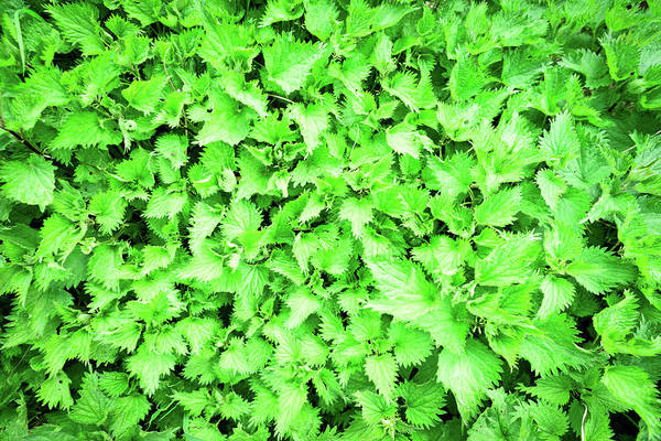 Photograph - Green Stinging Nettles Weed Background by John Williams