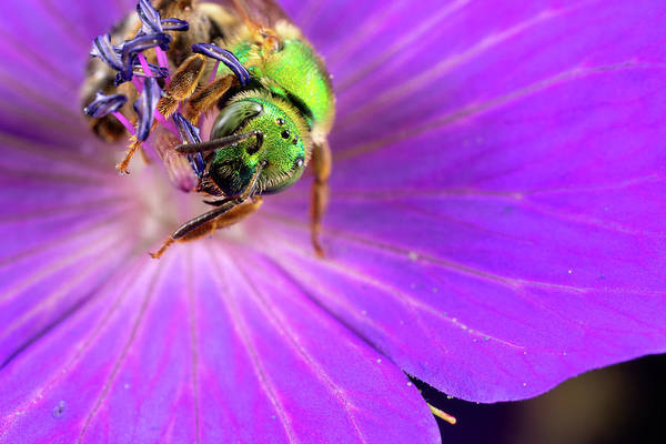 Photograph - Green Sweat Bee by Brian Hale