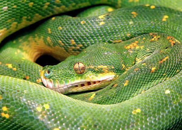 Nfs Photograph - Green Tree Python by Daniel Caracappa