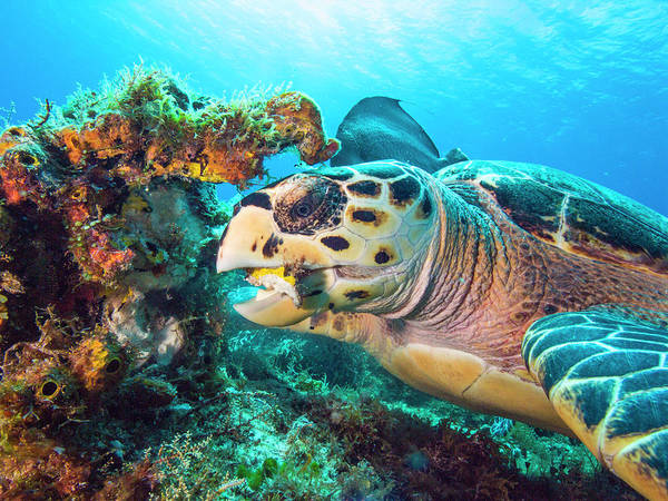 Photograph - Green Turtle Dining by Matt Swinden