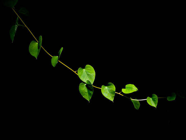 Photograph - Green Vine by Robin Zygelman
