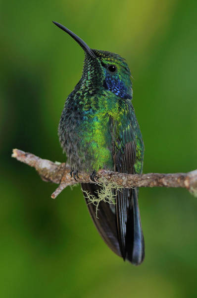 Colibri Photograph - Green Violet-ear by Tony Beck