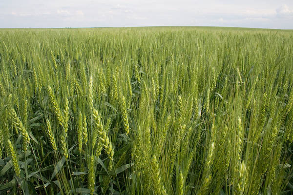 Photograph - Green Wheat by Dylan Punke