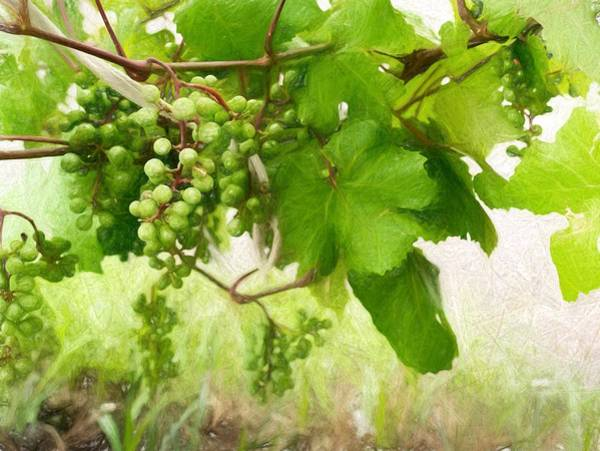 Photograph - Green Wild Grapes by John Williams