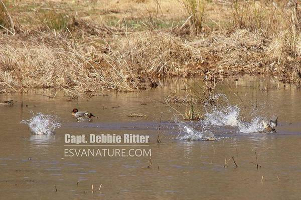 Photograph - Green Winged Teal 7895 by Captain Debbie Ritter