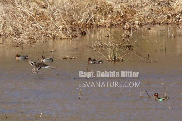 Photograph - Green Winged Teal 7907 by Captain Debbie Ritter