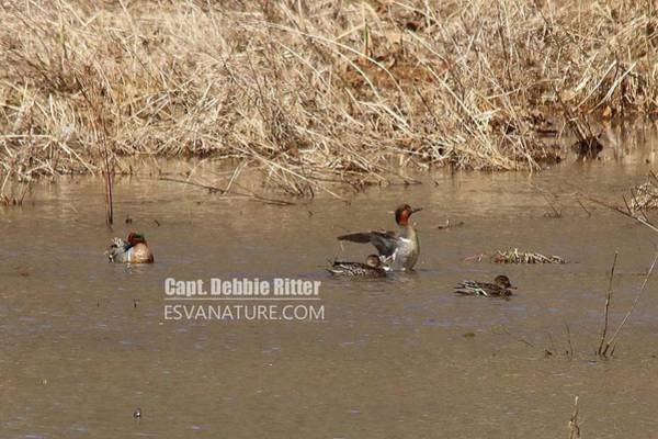 Photograph - Green Winged Teal 7919 by Captain Debbie Ritter