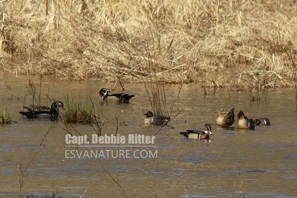 Photograph - Green Winged Teal 8092 by Captain Debbie Ritter