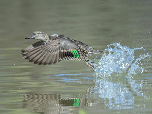 Photograph - Green-winged Teal Female by Tam Ryan