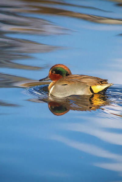 Photograph - Green-winged Teal In Pretty Water by Mark Miller