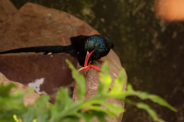Photograph - Green Wood Hoopoe by Chris Flees