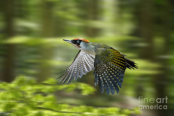 Photograph - Green Woodpecker In Flight by Warren Photographic