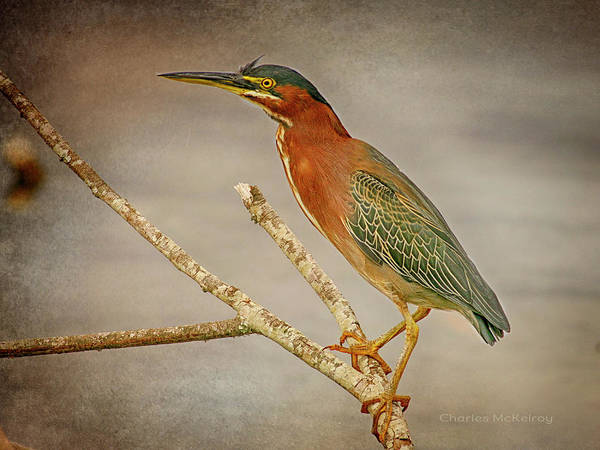 Photograph - Greenback Heron Portrait by Charles McKelroy