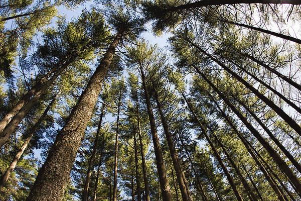 Photograph - Greenbank Pines by Kristia Adams