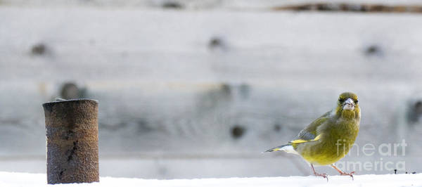 Photograph - Greenfinch by Odon Czintos
