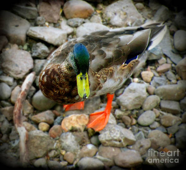 Greenhead Photograph - Greenhead by Colleen Kammerer