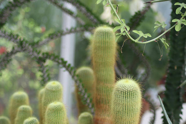 Photograph - Greenhouse Cacti by Susan Vineyard