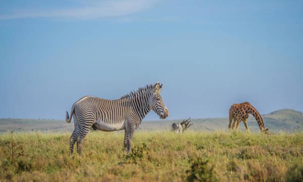 Toomer Wall Art - Photograph - Grevy's Zebra  by Steve Toom