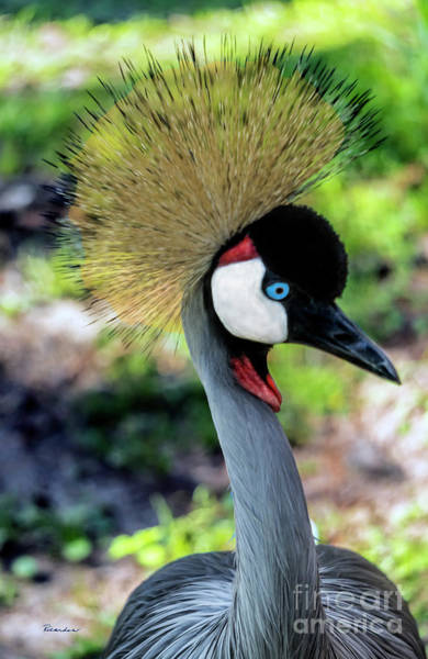 Photograph - Grey Crowned Crane Gulf Shores Al 2033 by Ricardos Creations