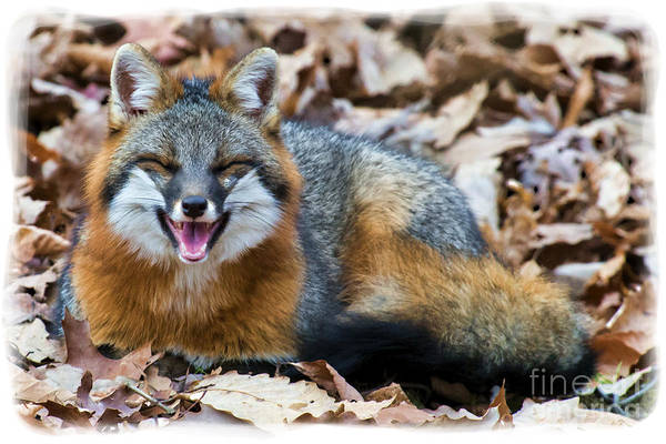 Photograph - Grey Fox Smiling by Dan Friend