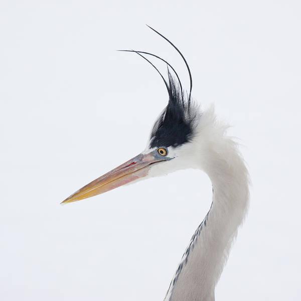 Photograph - Grey Heron - Ardea Cinerea by Karen Van Der Zijden