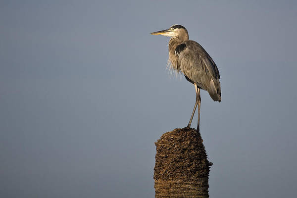 Photograph - Grey Heron by Ken Barrett