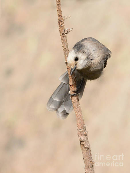 Photograph - Grey Jay by Charles Owens