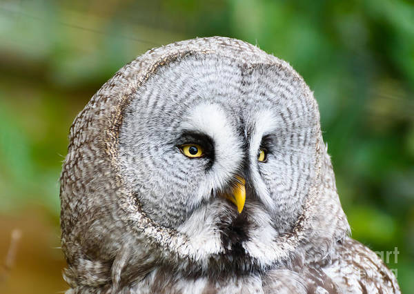 Photograph - Grey Owl by Colin Rayner