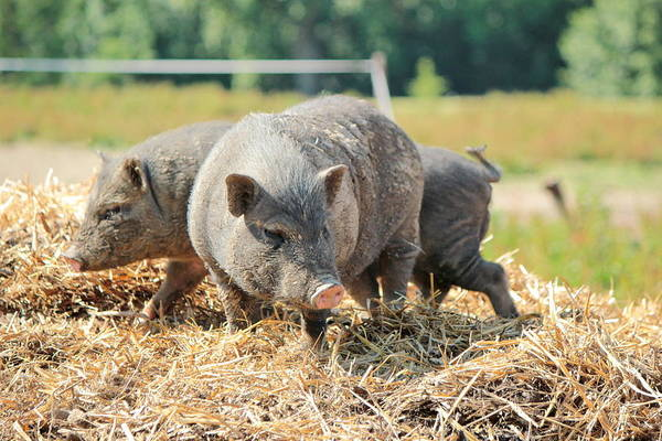 Pigpens Photograph - Grey Pigs by Elenarts - Elena Duvernay photo