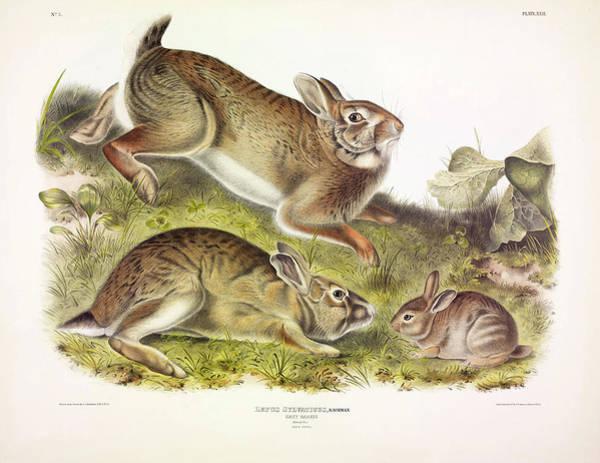 Wild Rabbit Painting - Grey Rabbit by John James Audubon