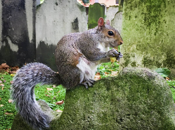 Photograph - Grey Squirrel  by Geoff Smith
