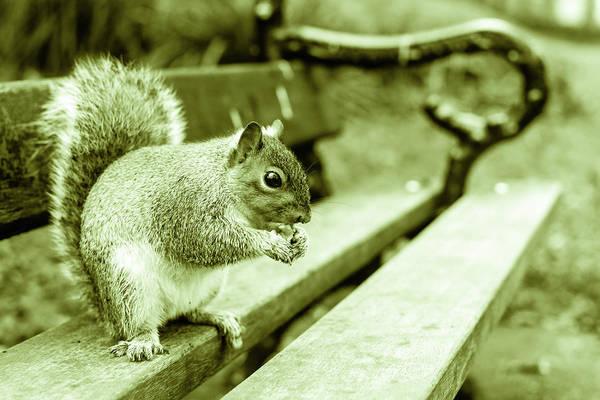 Photograph - Grey Squirrel In Autumn Park C by Jacek Wojnarowski