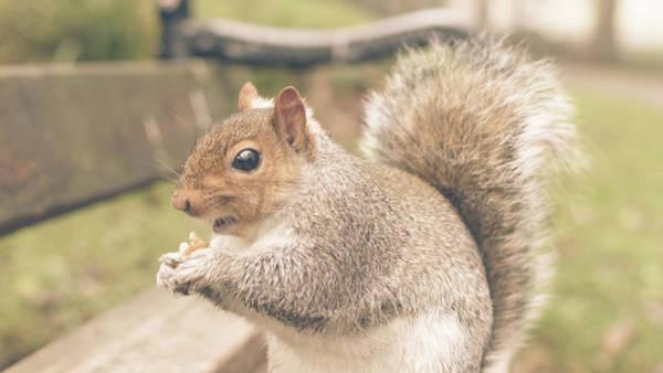 Photograph - Grey Squirrel In Autumn Park H by Jacek Wojnarowski