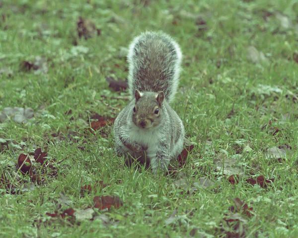 Photograph - Grey Squirrel In Autumn Park I by Jacek Wojnarowski