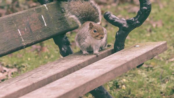 Photograph - Grey Squirrel In Autumn Park K by Jacek Wojnarowski