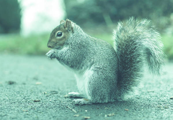 Photograph - Grey Squirrel In Autumn Park Y by Jacek Wojnarowski