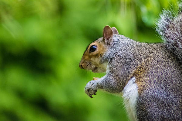 Grey Squirrel Photograph - Grey Squirrel by Martin Newman