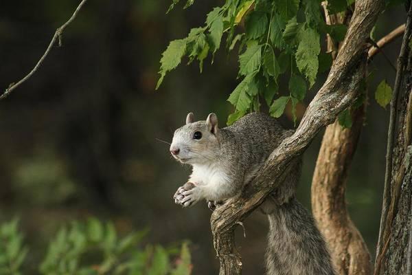 Wall Art - Photograph - Grey Squirrel by Valia Bradshaw