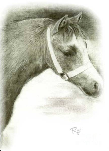 Drawing - Grey Welsh Pony  by Ryn Shell